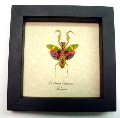 Creobroter gemmatus Red Real Framed Jeweled Flower Praying Mantis