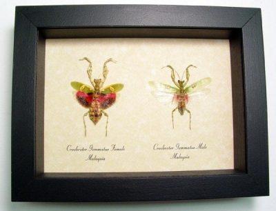 Creobroter gemmatus Pair Real Framed Praying Mantis Set