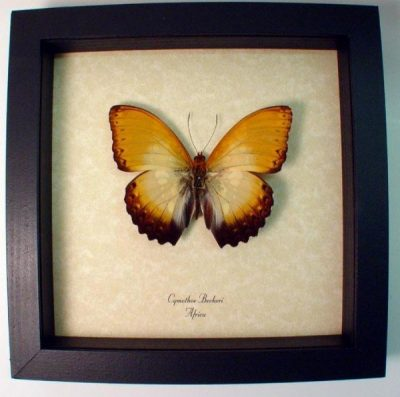 Cymothoe beckeri Male Real Framed African Sunrise Butterfly