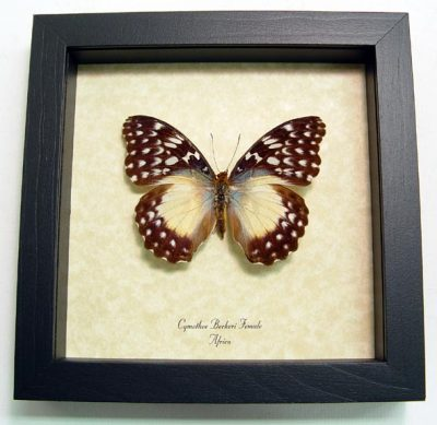 Cymothoe Beckeri Female Beckers Creamy Yellow Glider Real Framed Butterfly