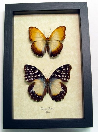 Cymothoe Beckeri Pair Beckers Creamy Yellow Glider Real Framed Butterflies