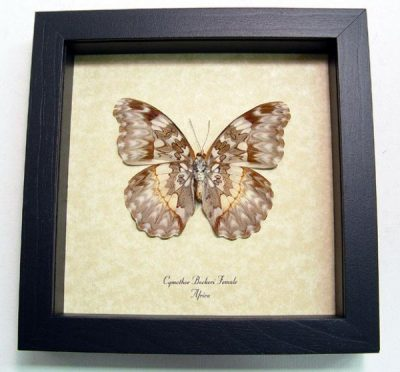 Cymothoe Beckeri F Verso Beckers Creamy Yellow Glider Real Framed Butterfly