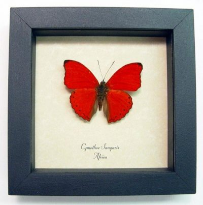 Cymothoe sangaris Male Red Glider African Real Framed Butterfly