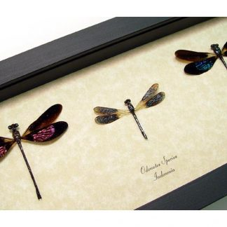 Damselfly Set Conservation Insect