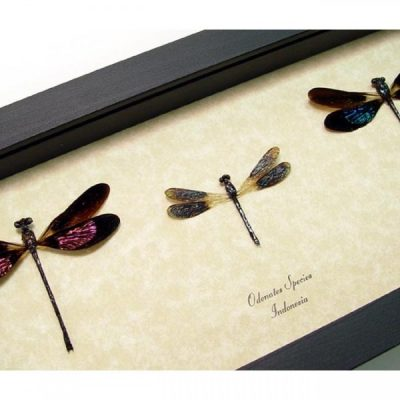 Odonates sp. Set Pink, Green & Blue Damselfly Collection