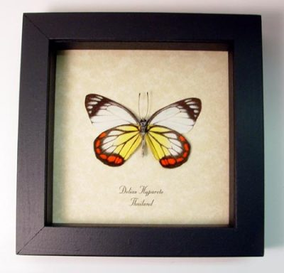 Delias hyparete Verso Painted Jezebel Real Framed Red Yellow Butterfly