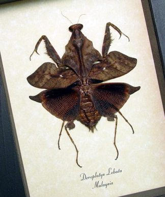 Deroplatys lobata Dark form Leaf Mimic Preying Mantis – Display