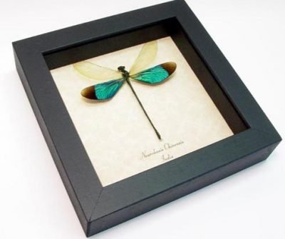 Neurobasis chinensis Male Green Metalwing Damselfly Real Framed Insect