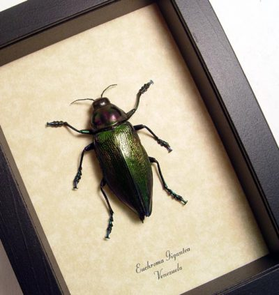 Euchroma Gigantea Real Framed Large Metallic Jewel Beetle
