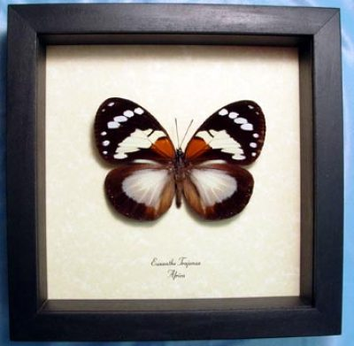 Euxanthe trajanus Male Madagascar Forest Queen Real Framed Butterfly
