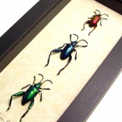 Frog Leg Beetles Set