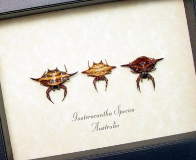 Gasteracantha Sp. Set Real Framed Spiked Spider Flying Saucer Collection