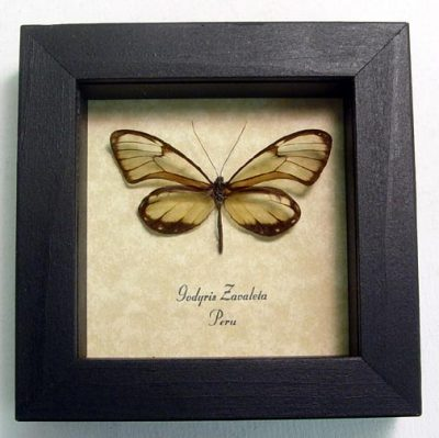 Godyris Zavaleta Real Framed Glasswing Butterfly