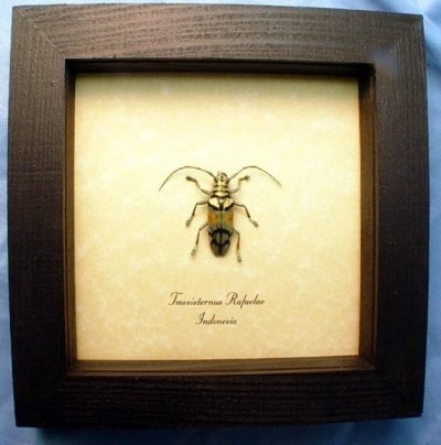 Tmesisternus rafaelae Gold Copper Green Real Framed Longhorn Beetle