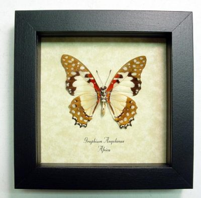 Graphium angolanus Verso Angola White Lady Red White Spotted Real Framed Butterfly