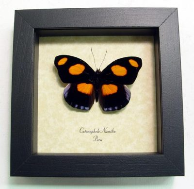 Catonephele numilia Grecian Shoemaker Orange Purple Real Framed Butterfly