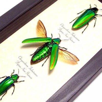 Chrysochroa fulminans Set Real Framed Metallic Green Living Jewels Beetles