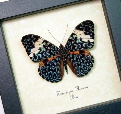 Hamadryas aeinome The Blue Paisley Cracker Butterfly Real Framed Butterfly