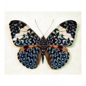 Hamadryas aeinome - The Blue Paisley Butterfly