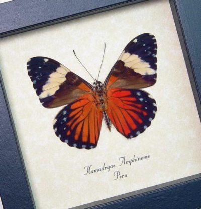 Hamadryas amphinome Verso The Red Cracker Butterfly Real Framed Butterfly