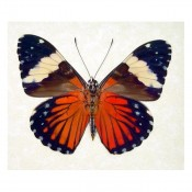 Hamadryas amphinome Red Cracker Butterfly