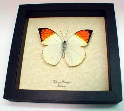 Hebomoia glaucippe Great Orange Tip Real Framed Butterfly
