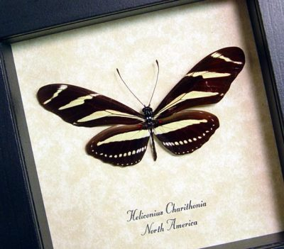 Heliconius Charithonia Zebra Longwing Real Framed Florida State Butterfly