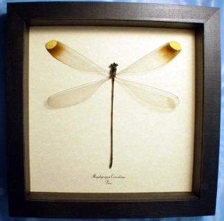 Helicopter Damselfly – Framed