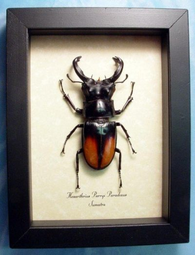 Hexarthrius p. paradoxus Real Framed Giant Fighting Stag Beetle