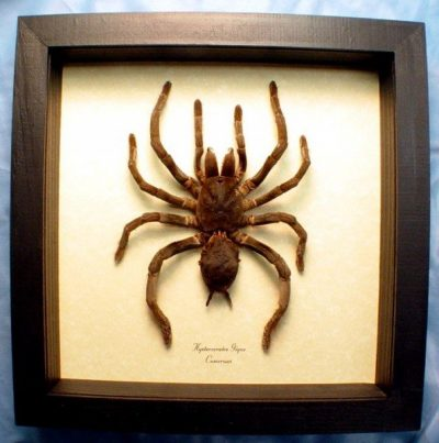 Hysterocrates gigas Rusty Red Baboon spider Real Framed Giant African Tarantula