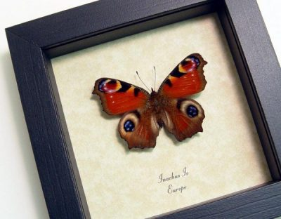 Inachus io European Peacock Wild Eyespots Real Framed Europe Butterfly