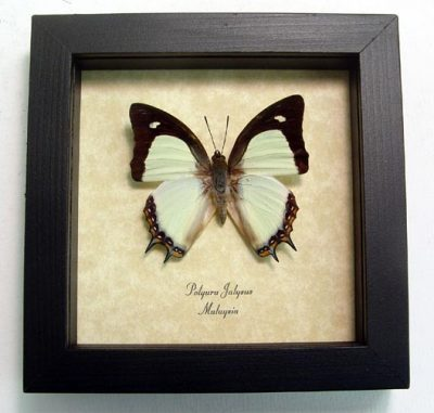 Polyura jalysus Indian Yellow Nawab Green Real Framed Butterfly
