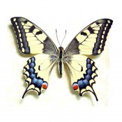 Japanese Butterfly Papilio Machaon Female