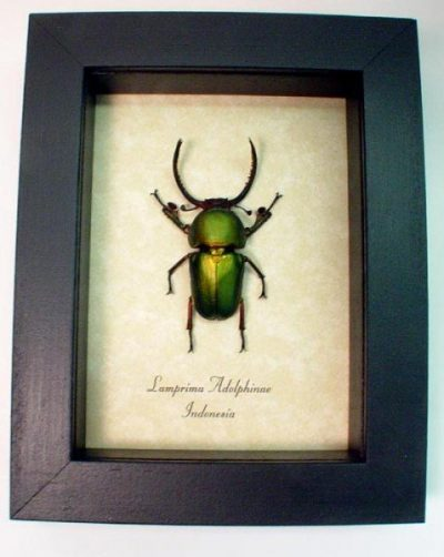 Lamprima Adolphinae Real Framed Fighting Green Stag Beetle