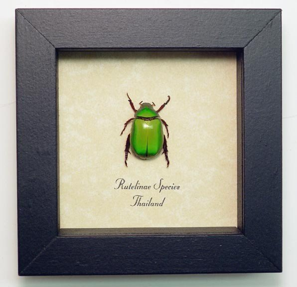 Shiny Lime Green Leaf Chafer Beetle - Real Framed Butterflies and ...