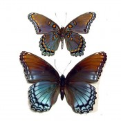 Limenitis astyanax Pair