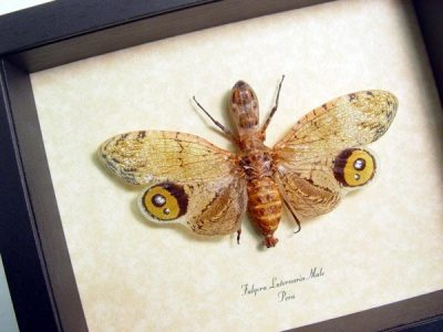 Fulgora laternaria Male Real Framed Peanut Head Alligator Lanternfly Sug Retail $100