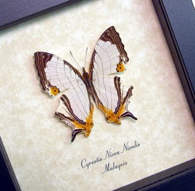 Cyrestis nivea nivalis - Real Framed Road Map of Malaysia Butterfly