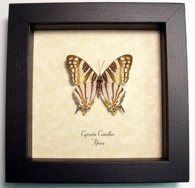 Cyrestis camillus Male Real Framed Map Of Africa Butterfly