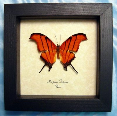 Marpesia petreus Ruddy Daggerwing Real Orange Swallowtail Framed Butterfly