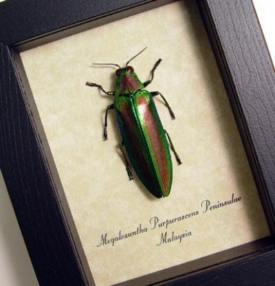 Megaloxantha purpurascens Real Framed Red Green Metallic Jewel Beetle