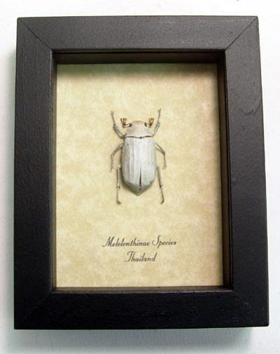Melolonthinae Sp White Scarab Real Framed Christmas Beetle