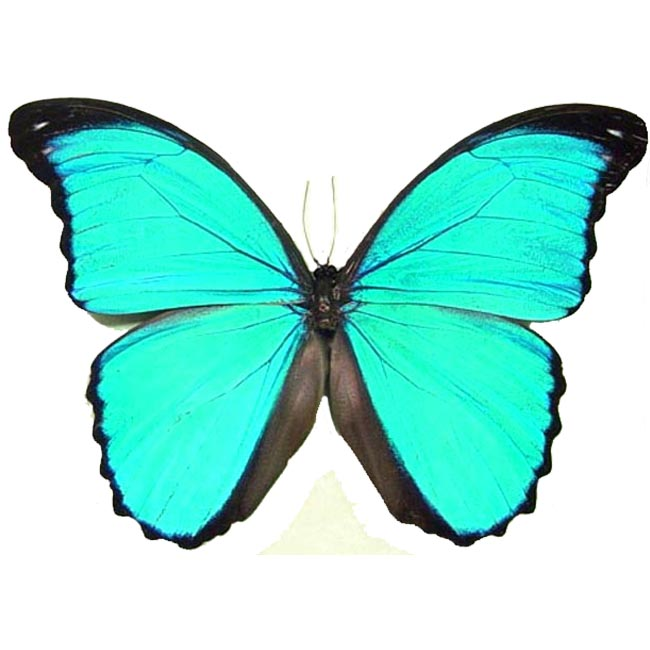 morpho m pucallpensis   real framed butterflies and