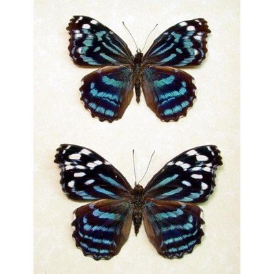 Myscelia ethusa Pair - The Mexican Bluewing