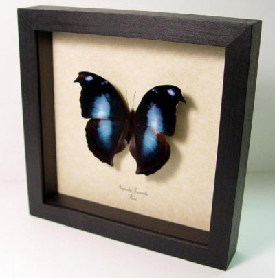 Napeocles jucunda The Blue Hatchet wing Real Framed Butterfly