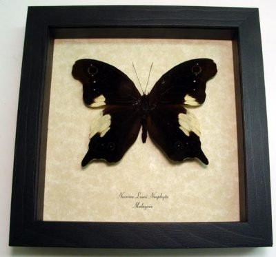Neorina lowii neophyta Malayan Owl Real Framed Butterfly