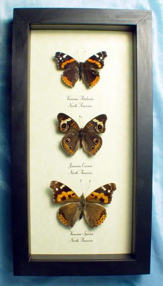 North American Brushfoot Butterfly Trio
