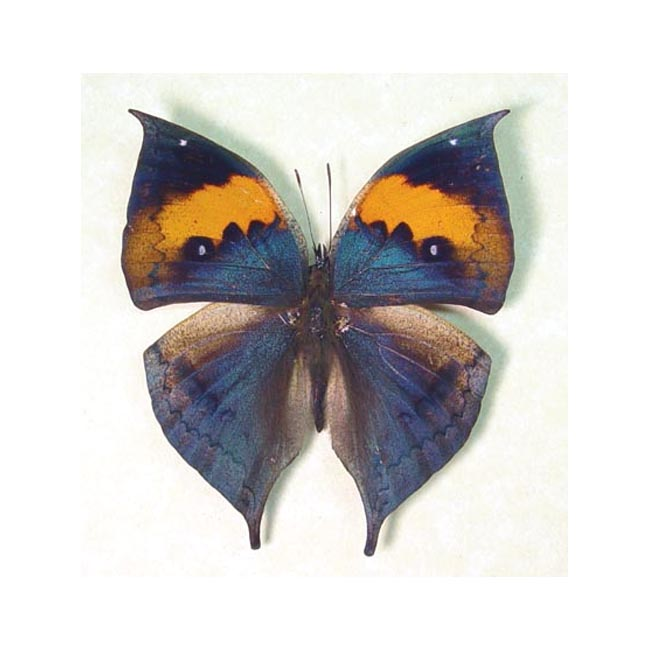 Real Framed Purple Leaf Mimic Butterfly Shadowbox Display 607