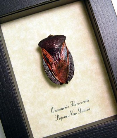 Oncomeris flavicornis Real Framed Red Heart I Love You Beetle