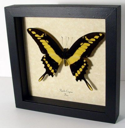 Papilio cinyras Male King Swallowtail Yellow Real Framed Butterfly
